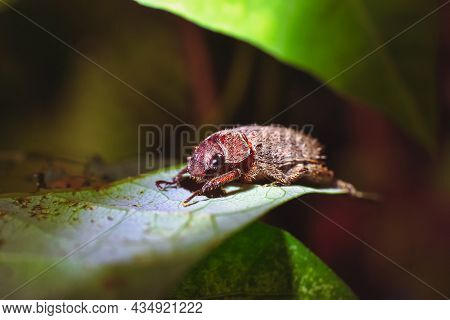Rose Beetle On The Green Leave In The Nature,animal Close Up Macro Concept