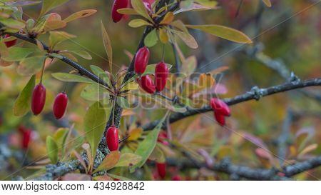 Ripe Red Autumn Briar Berries On A Rose Bush Branch. Photo Of Shrubs Of Rosehip In The Wild On A Sun