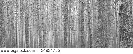 Beautiful Black And White Panorama With Pine Trees On Black And White Background In Style Of Old Bla