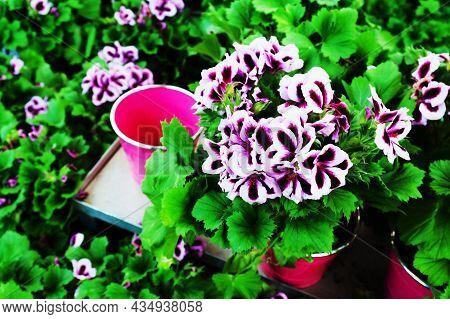Flowers In Pots. Cultivation Of Flowers In The Nursery