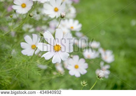 Blooming White Gardencosmos Bipinnatus Flowers On A Meadow. Soft Focus