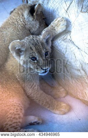 Two Small Lion Cubs