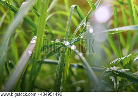 Green Grass With Dew Drops. Soft Selective Selective Focus, Blurred Background And Foreground, Bokeh