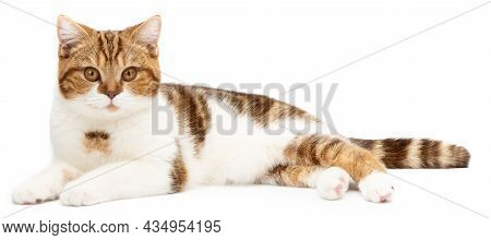 Red Cat Lying Isolated On White. Cute Cat Lie Down Looking In Camera. British Shorthair Closeup
