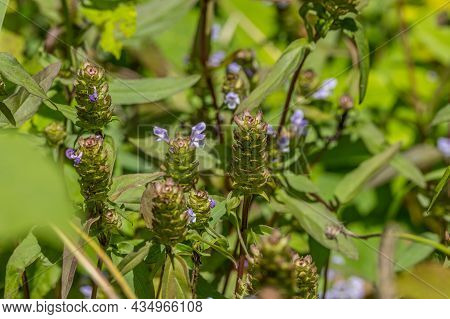 The Heal-all Plant With Many Other Names Is A Weed Growing In The Field With Many Uses For External