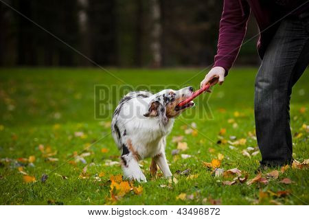 Young Merle Australian Shepherd Playing With Man