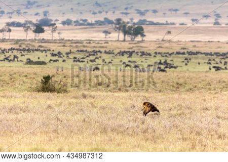 A male lion in the long grass of the Masai Mara, Kenya.  Wildebeest and zebra graze in the grasslands, unaware of the big cat resting nearby.