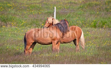 Icelandic Horses Cuddling In A Green Field