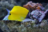 a tropical yellow surgeon fish swimming on reef poster
