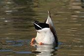 mallard duck diving for food poster
