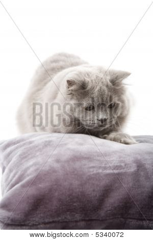 portrait of cute british kitten isolated over white background poster