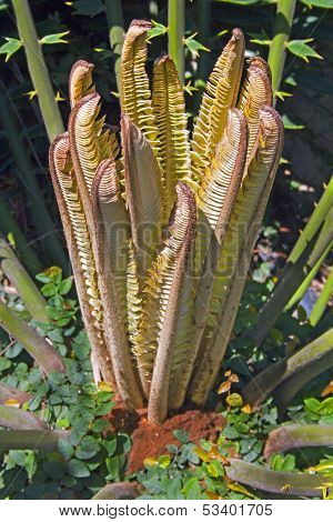 Close Up Of Newly Sprouting Leaves On A Cycad Plant