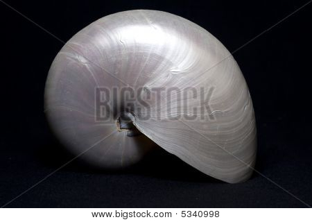 Upright Pearly Nautilus Shell