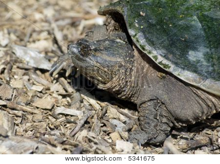 Snapping Turtle On Hill