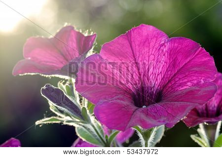 Detail Of A Petunia