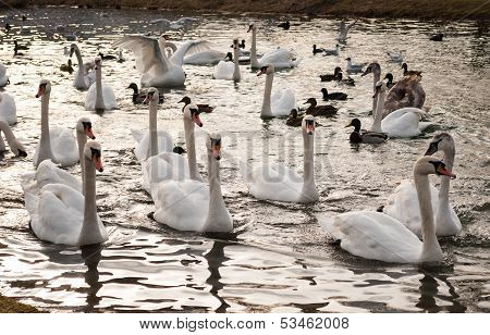 Gaggle of ducks and swans