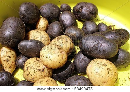 Fresh Harvest Of Blue And Gold Potatoes