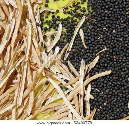 Harvesting Kale Seeds