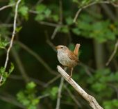 Winter Wren perched on lookout branch protecting young in nest poster
