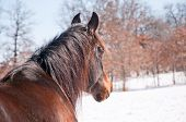 Dark bay Arabian horse looking into distance with a snowy winter background poster