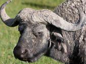 Water buffalo closeup at Ngorongoro Conservation Area Tanzania. poster