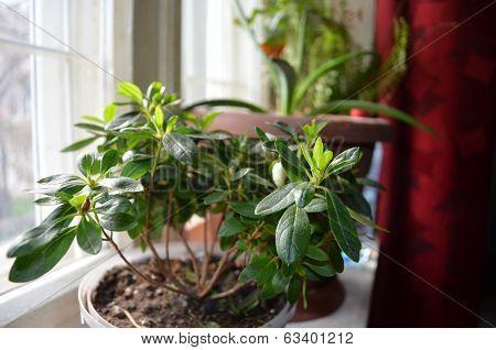 Azalea in a pot on the windowsill
