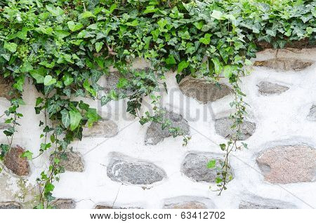Old Stone Wall, Plaster And Green Ivy