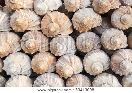 Group Of Rapana Shells Arranged Diagonally, Black Sea, Bulgaria