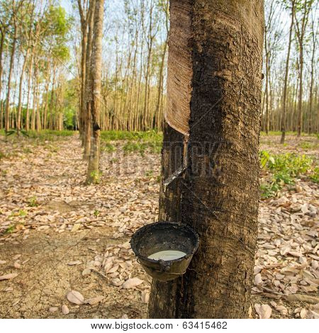 Milky latex extracted from rubber tree (Hevea Brasiliensis) as a source of natural rubber poster