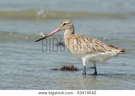 A Bar-tailed Godwit (Limosa lapponica) standing in shallow surf poster