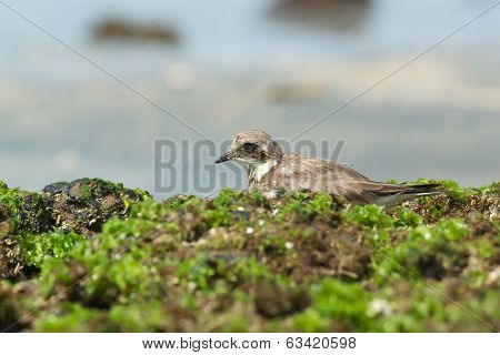 A Ringed Plover (Chadrius hiaticula) resting in seaweed on the beach poster
