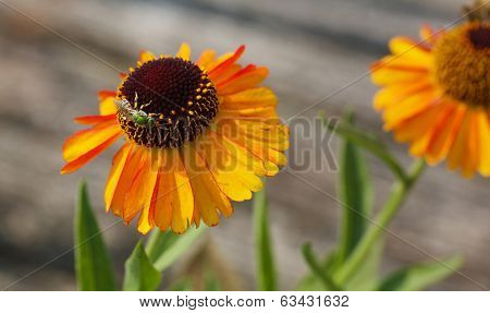 Metallic Green Bee on Orange cone flower with blurred background