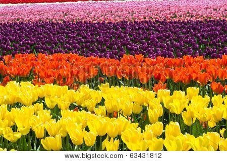 Abstract Floral Background Tulips