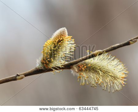 Willow catkins bloom