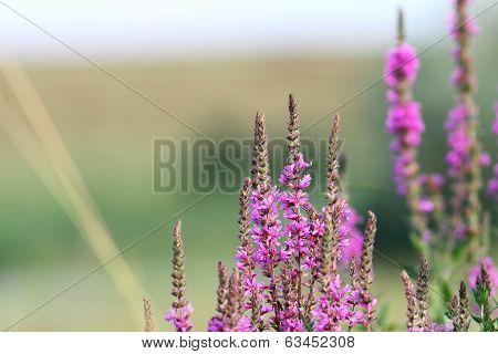 Purple Wild Flowers Growing In Summer