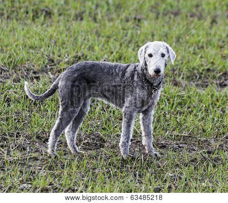 Bedlington Terrier Standing In A Field