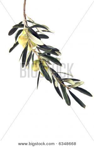 Olive Branch Leaf