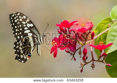 A Citrus Swallow-Tail Butterfly (Papilio demodocus) drinking nectar from red flowers poster