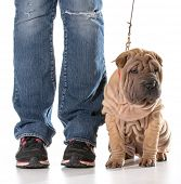 dog training - chinese shar pei sitting in heal postion poster