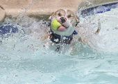 A dog with a tennis ball jumping into a swimming pool poster
