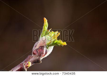 Growing Apple Bud