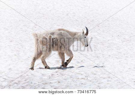 Walking Mountain Goat