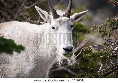 Goat Chewing Pine Tree Stick