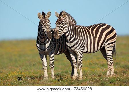 A pair of plains Zebras (Equus burchelli), South Africa