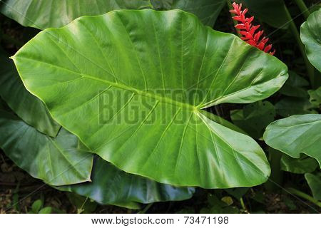 Tropical Elephant Ear Leaf with Red Flower in Guatemala
