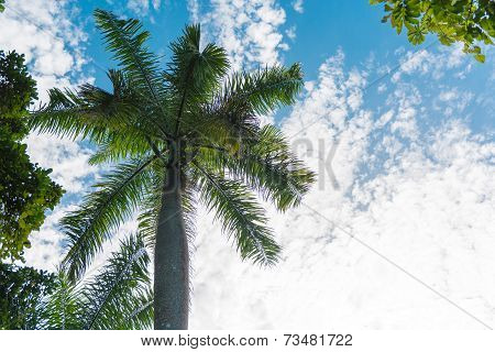 Royal Palm Tree, Cuban National Tree