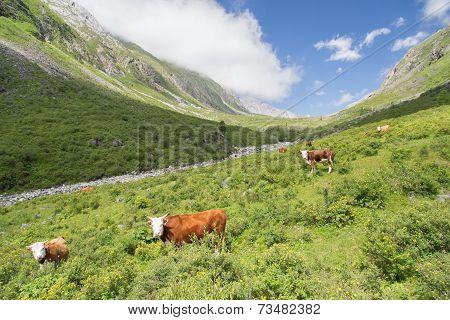 Cows At Grasland