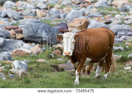 Cow At Alpine Meadows