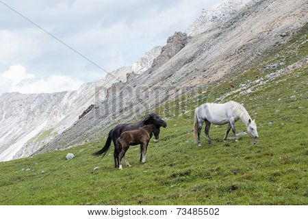 photo of horses and colt grazing on alpine meadows