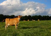 Mature Jersey Cow in Kikuyu Field with herd in background on sunny day poster